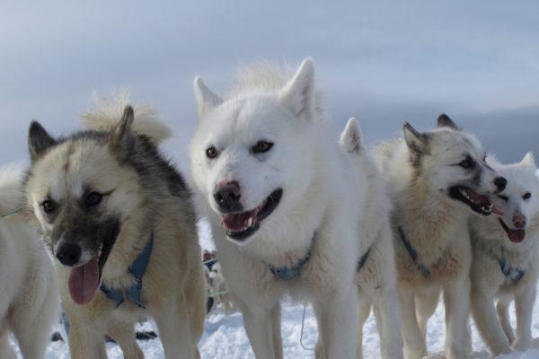 Rejser: Hundeslæde i Grønland