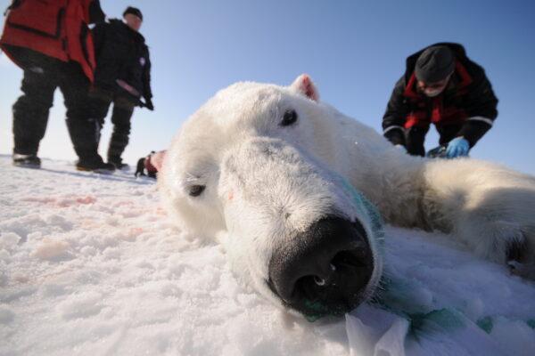 Hvordan har isbjørnene det?